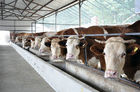 China Energy-efficient Light Weight Steel Structural Framing Cowshed Systems With Single Long Span factory